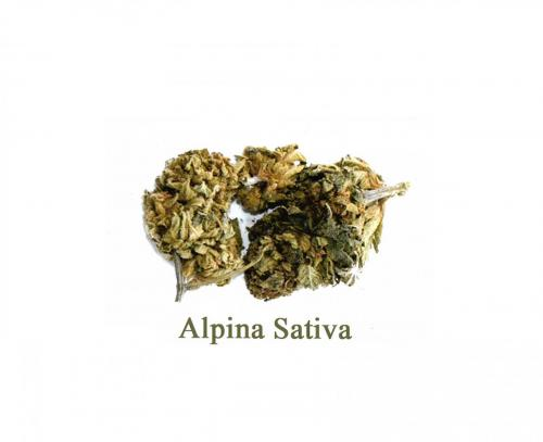 Alpina-Sativa-leriff
