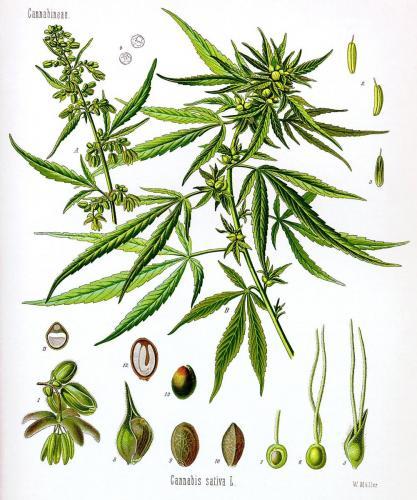 Cannabis-Sativa-LeRiff.ch-cbd-weed-marijuana-03