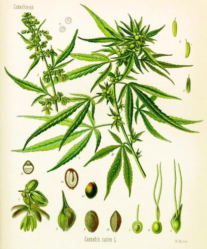 Cannabis-Sativa-LeRiff.ch-cbd-weed-marijuana-04