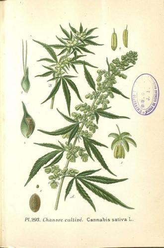 Cannabis-Sativa-LeRiff.ch-cbd-weed-marijuana-12