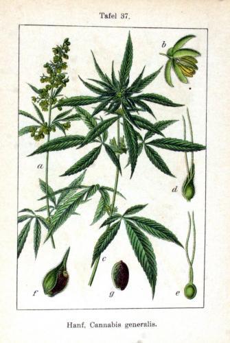 Cannabis-Sativa-LeRiff.ch-cbd-weed-marijuana-14