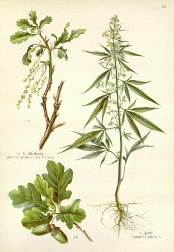 Cannabis-Sativa-LeRiff.ch-cbd-weed-marijuana-15