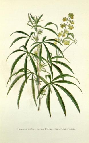 Cannabis-Sativa-LeRiff.ch-cbd-weed-marijuana-16