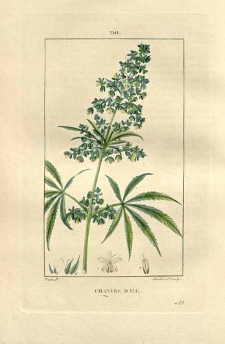 Cannabis-Sativa-LeRiff.ch-cbd-weed-marijuana-20