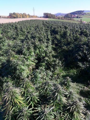 cbd-cannabis-vente-en-gros-grossistes-professionnelle-distributeurs-fournisseurs-importateurs-exportateurs-retailers-retail-hemp-stores-THC-02