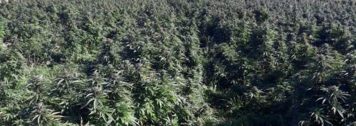 cbd-cannabis-vente-en-gros-grossistes-professionnelle-distributeurs-fournisseurs-importateurs-exportateurs-retailers-retail-hemp-stores-THC-022