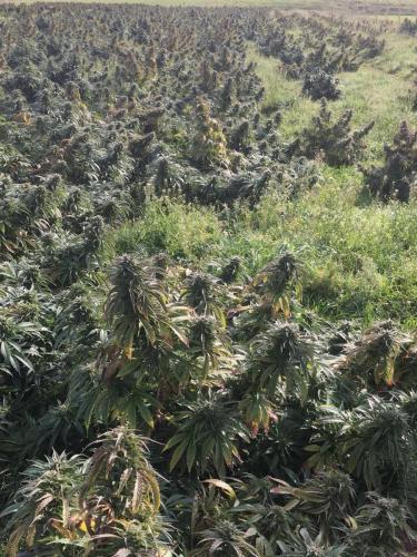 cbd-cannabis-vente-en-gros-grossistes-professionnelle-distributeurs-fournisseurs-importateurs-exportateurs-retailers-retail-hemp-stores-THC-17