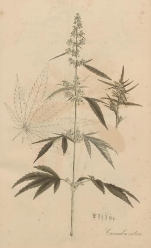 cbdsuisse-cbd-cannabisculture-cbdlife-cannabismedicinal-swisscbd-cannabis-marijuana-weed-hemp-swisscannabis-cannabislegal-swissmade-medicalmarijuana-cbdhemp-cbdhanf-swisshemp-36