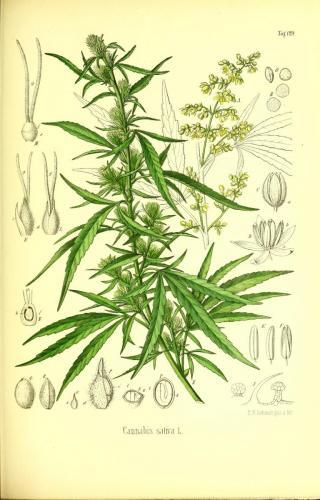 cbdsuisse-cbd-cannabisculture-cbdlife-cannabismedicinal-swisscbd-cannabis-marijuana-weed-hemp-swisscannabis-cannabislegal-swissmade-medicalmarijuana-cbdhemp-cbdhanf-swisshemp-37