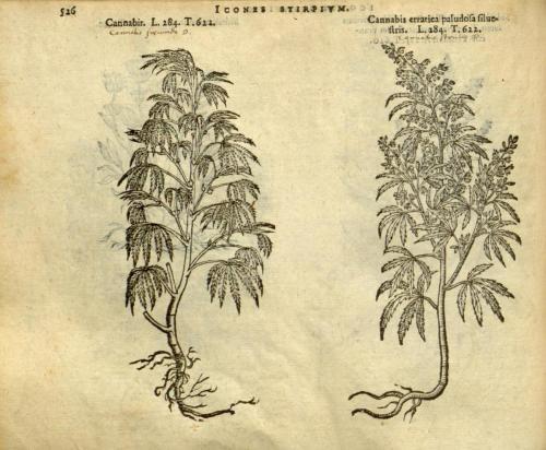 cbdsuisse-cbd-cannabisculture-cbdlife-cannabismedicinal-swisscbd-cannabis-marijuana-weed-hemp-swisscannabis-cannabislegal-swissmade-medicalmarijuana-cbdhemp-cbdhanf-swisshemp-46