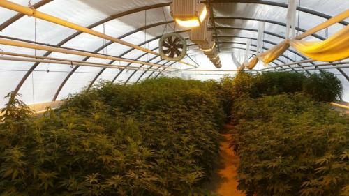 leriff-achat-en-gros-de-boutures-de-cannabis-cbd-18