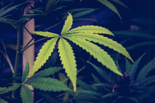 leriff-nordausud-cbd-weed-marijuan