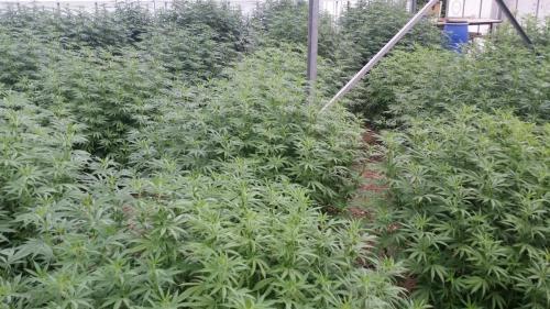 cbd-leriff-cannabis-weed-suisse-017