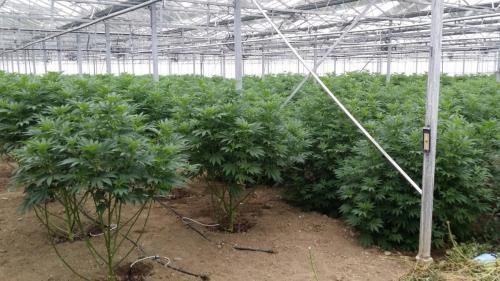 cbd-leriff-cannabis-weed-suisse-08
