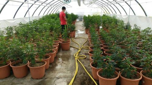 leriff-achat-en-gros-de-boutures-de-cannabis-cbd-cannabis-06