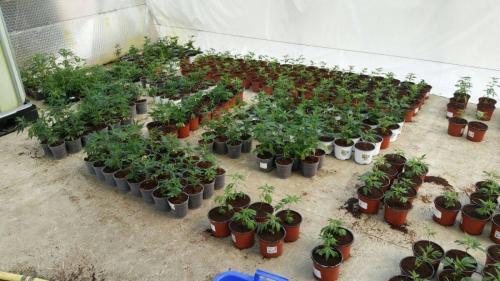 leriff-achat-en-gros-de-boutures-de-cannabis-cbd-cannabis-10