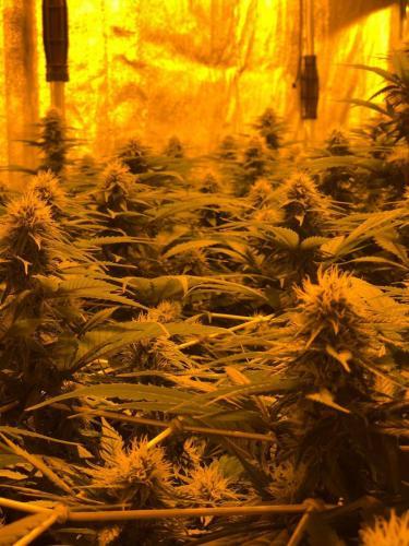 leriff-riff-Vente en Gros de CBD Suisse-Grossiste de cannabis légal-suisse-17