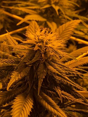 leriff-riff-Vente en Gros de CBD Suisse-Grossiste de cannabis légal-suisse-23